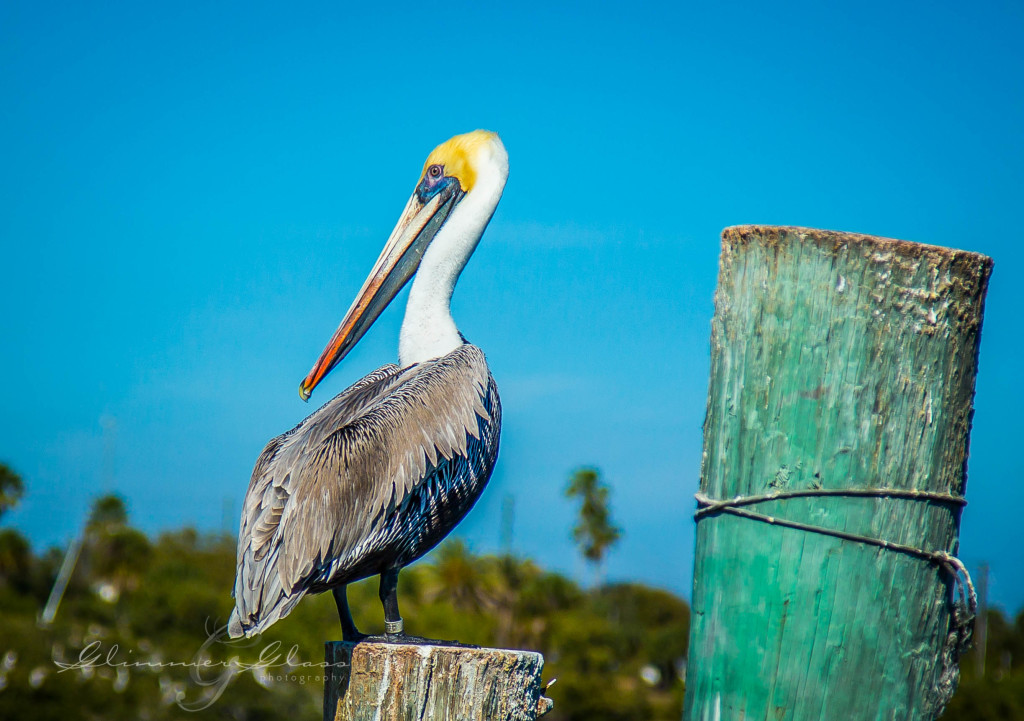 Pelican on the Pier  New Smyrna Beach, FL