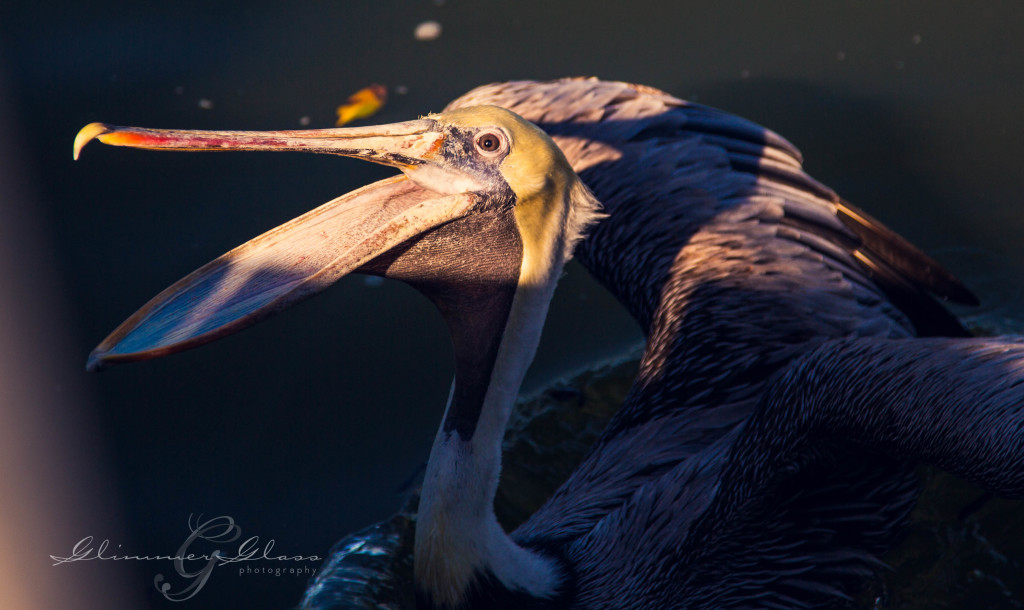 Pelican Begging at the dock