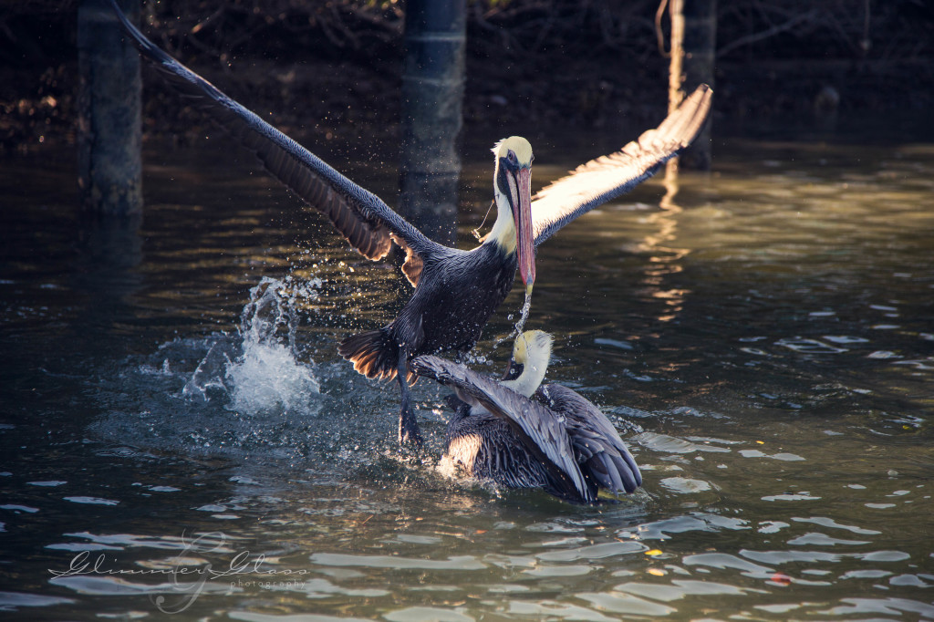 Pelicans don't like to share.