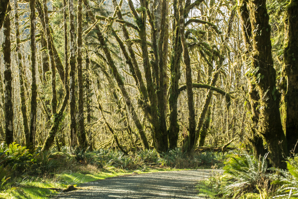 Rainforest at Olympic National Forest area near Lake Quinault